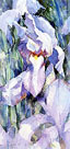 Purple irises by Trevor Waugh