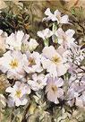 Michele's Primulas by Trevor Waugh