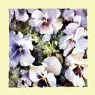 Purple and White Pansies by Trevor Waugh