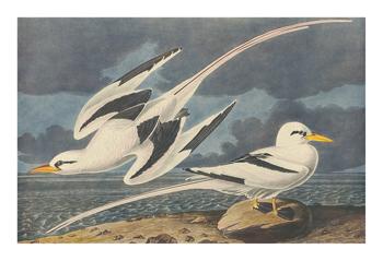 The White-Tailed Tropic Bird