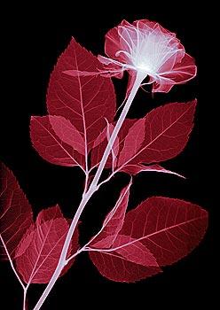 Red Rose Glow