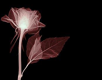 White Rose Glow