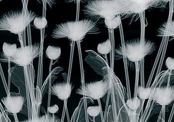 Chrysanthemum Furore
