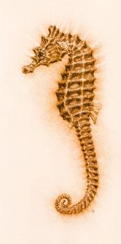 Seahorse IV
