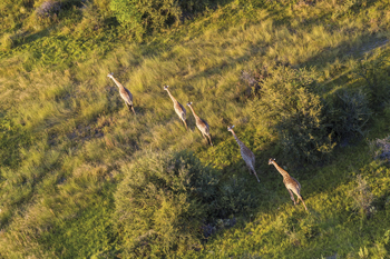 On the Move - Giraffe