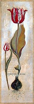 Tulipa Violoncello III