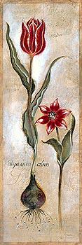 Tulipa Violoncello IV