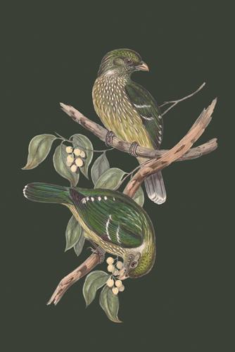 Ptilonorhynchus Smithii - Sage by John Gould