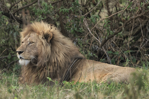 Lazing Lion by Wink Gaines