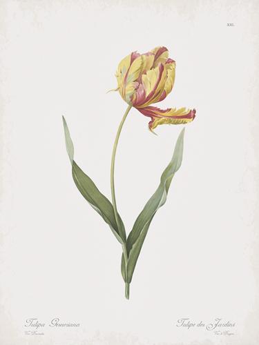 Tulipa Dracontia by Pierre Joseph Redoute