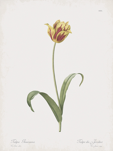 Tulipa Rubra by Pierre Joseph Redoute