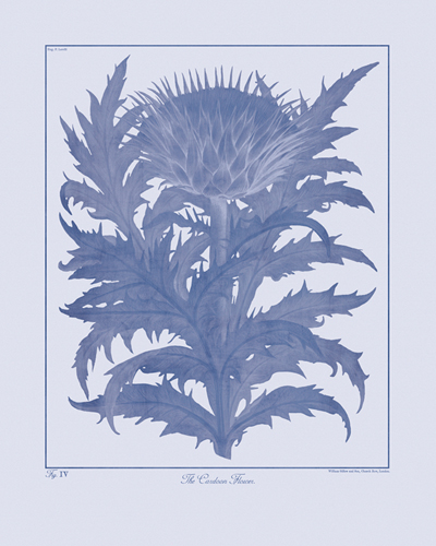 Ink Botanicus - Cardoon by Maria Mendez