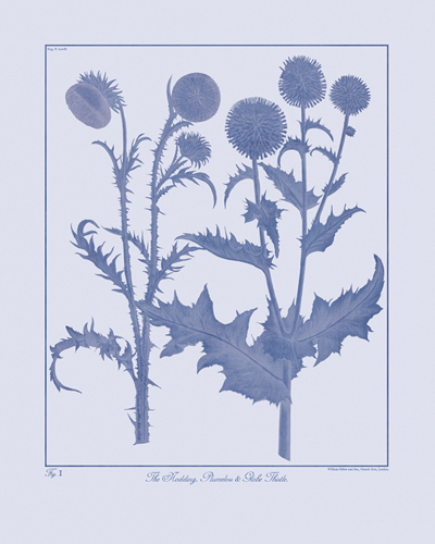 Botanicus Ink - Nodding Thistle by Maria Mendez