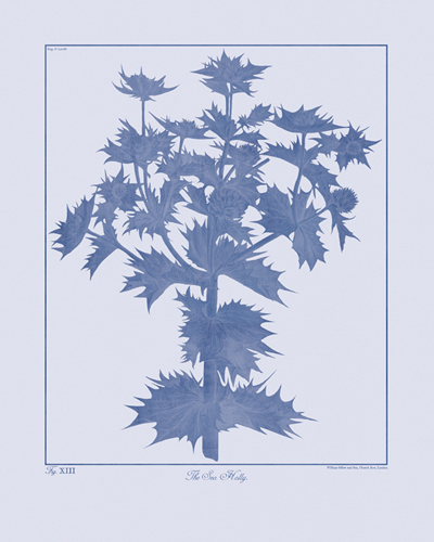 Botanicus Ink - Sea Holly by Maria Mendez