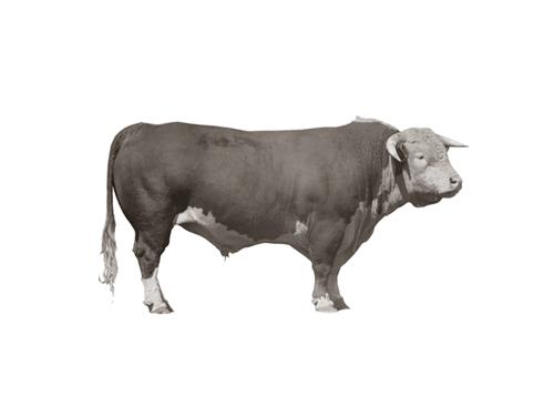 Hereford Bull by Kernud Hansen