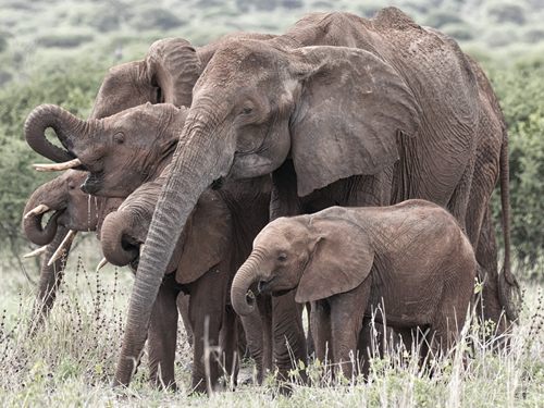 Entourage of Elephants by Wink Gaines