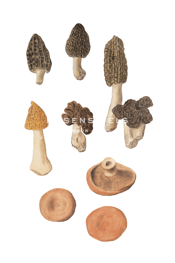 Forest Fungi - The Vintage Collection