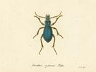 Carabus Cyaneus by A. Poiteau