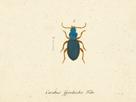 Carabus Fpinibarbis by A. Poiteau