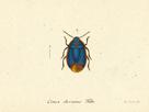 Cimex Oleraceus by A. Poiteau