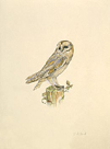 Barn Owl by C.T.N. Ackland