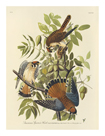 American Sparrowhawk by James Audubon