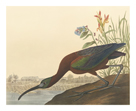 The Glossy Ibis by James Audubon