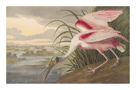 Roseate Spoonbill by James Audubon