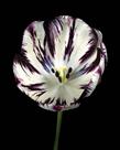 Midnight Tulip II by Derek Harris