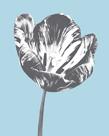 Tulip Accent I by Derek Harris