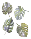 Monstera Leaves by Sandra Jacobs