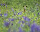 Deer Meadow by Wild Wonders of Europe