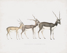 Antelope Cervicapra Coetus by The Drammis Collection