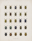 Insecta Coleoptera Coetus by The Drammis Collection