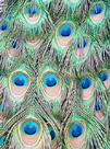 Peacock by Ella Lancaster
