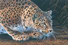 Amur Leopard by Kim Thompson