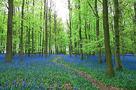 Bluebell Forest by Joseph Eta