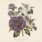 Camellia Reticulata by 19th Century English School