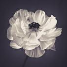 Ranunculus Floral by Assaf Frank