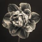 Tulipa Still by Assaf Frank