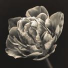Tulipana Still by Assaf Frank