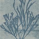 Alga Alligata - Koro by The Drammis Collection