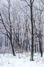 Woodland Snow I by Adam Brock