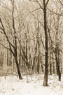 Woodland Snow II by Adam Brock