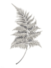 Fern Frond I by Hilary Armstrong