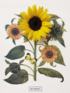 Floral Decoupage - Helianthus by Camille Soulayrol