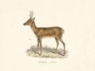 Roebuck Study by 19th Century English School