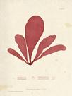 Schizymenia edulis by Henry Bradbury