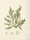 Cystoseira ericoides by Henry Bradbury