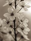 Blossom Cluster by Assaf Frank